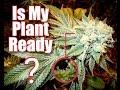 IS MY CANNABIS PLANT READY?!? - Feno Vlog 8