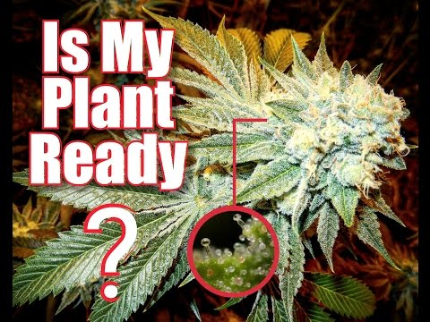 IS MY CANNABIS PLANT READY?!? - Feno Vlog 8