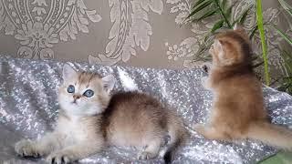 Котята . Золотая шиншилла.