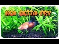 Koi Betta Fry Update