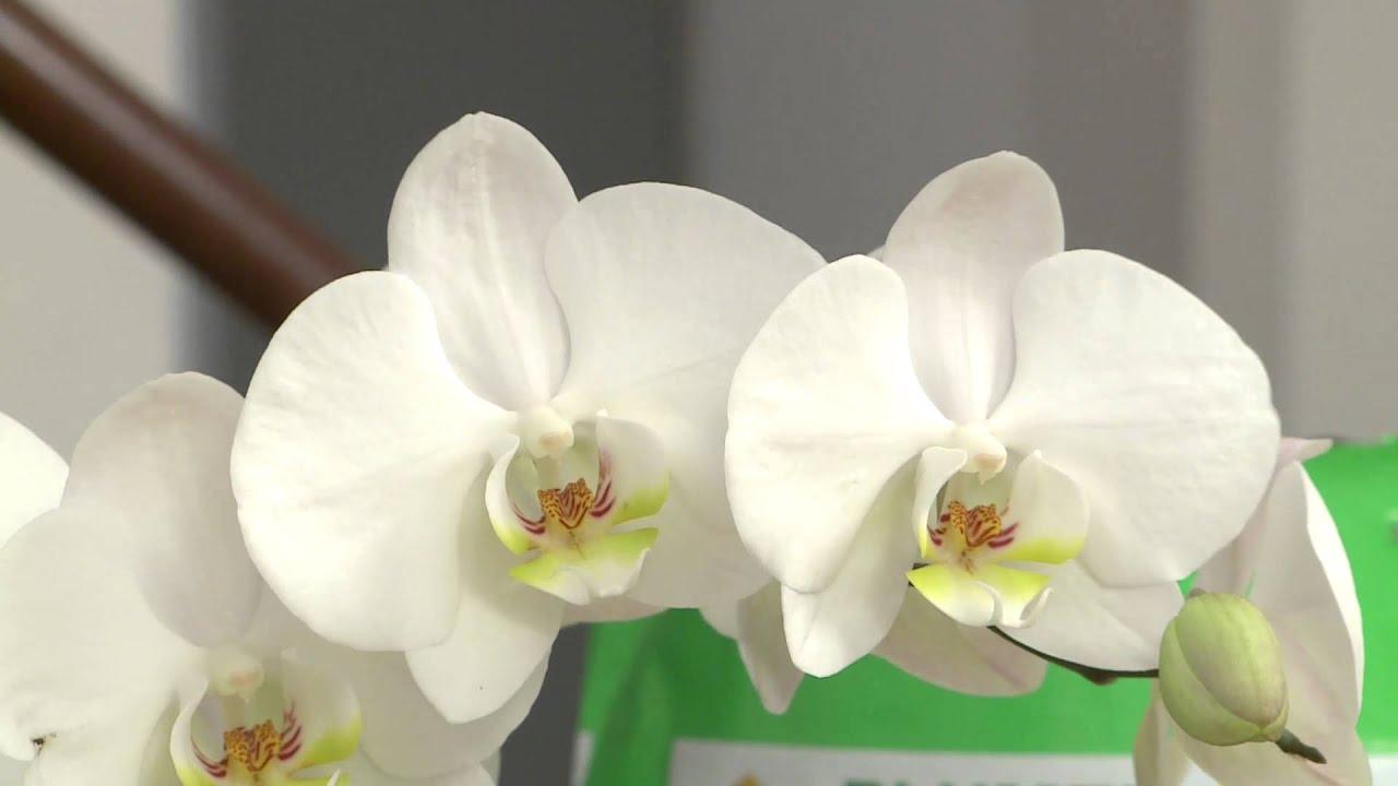 Cifo ascolta le tue piante l 39 orchidea viyoutube for Zamioculcas cura