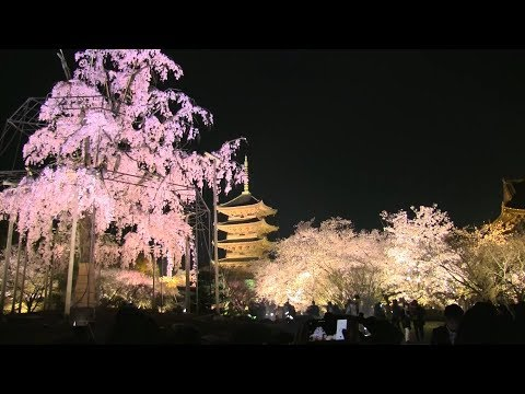 Night Sakura Cherry Blossom Viewing at Kyoto Toji Temple