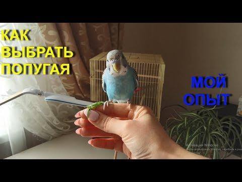 КАК ВЫБРАТЬ ВОЛНИСТОГО ПОПУГАЯ. Купить попугая мальчика и молодого! (2019г.)