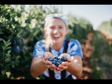 88 Days Farm Work Australia - Should You Blueberry Pick?