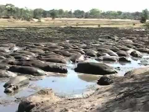 The hard life of hippos at Katavi National Park, Tanzania