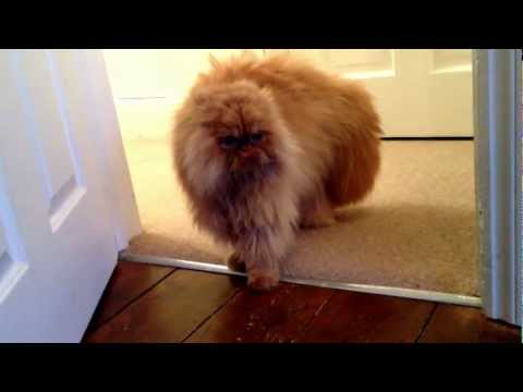 Angry Persian cat
