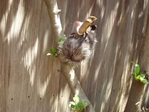 Baby Possum Hanging By Tail Youtube