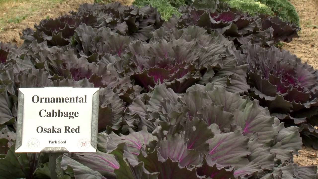Ornamental Cabbage And Kale Southern Gardening Tv December 18
