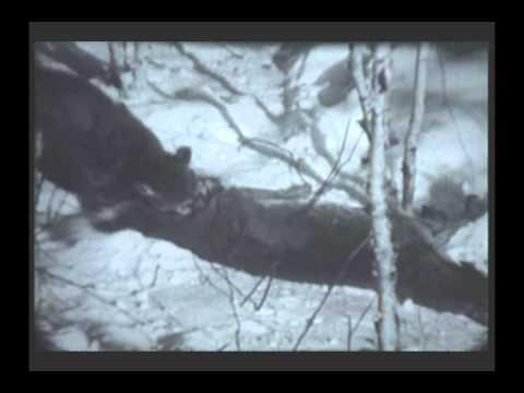 Haz un esfuerzo mirar televisión haz  Cougar VS Black Bear - Puma VS Oso - Медведь VS Пума - ピューマVSクマ - YouTube