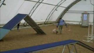 Bichon Frise: Dog Agility Training!