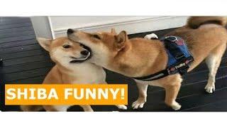 Shiba Inu Funny Videos Compilation