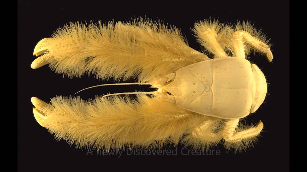 worlds strangest looking animal yeti crab