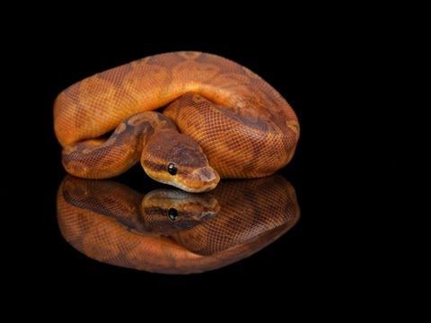 how lizards evolved into snakes Scientists discover where snakes lived when they evolved into limbless they collected the largest genetic data set for snakes and lizards ever used to address.