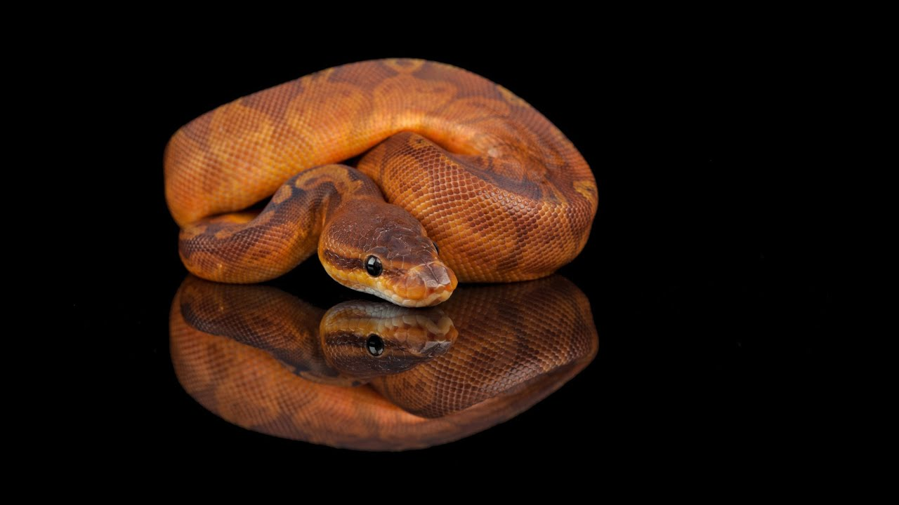 Snake Bytes TV - Cool Baby Ball Pythons! SnakeBytesTV ...