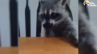 Orphaned Raccoon Finds New Family, Then Returns Home To The Wild