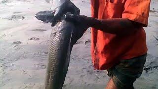 হায় হায়রে এত্ত বড় শোল মাছ ধরতে গিয়ে জেলের কি হলো দেখুন | মাগুর মাছ ধরার কৌশল | how to catch big fish