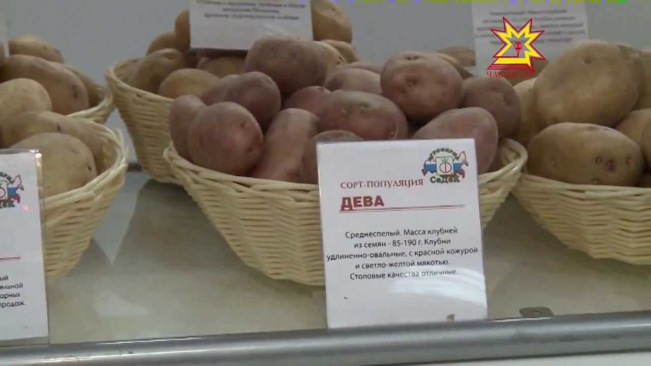 Чебоксары: «август» на выставке «картофель – 2018». «августа» в чувашии сергей милицков. – несколько лет назад цена на него сильно упала,