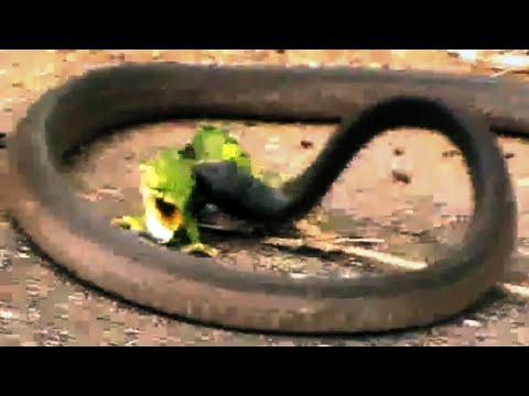 Battle Between A Boomslang Snake And A Flap-Necked Chameleon