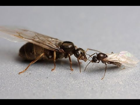 How To Identify A Queen Ant Youtube