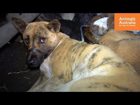 End Bali's dog meat trade!