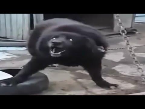 Rottweiler Mix Tibetan Mastiff Result Incredible Monster Youtube
