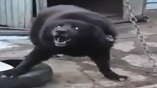 Rottweiler mix Tibetan Mastiff - Result incredible Monster