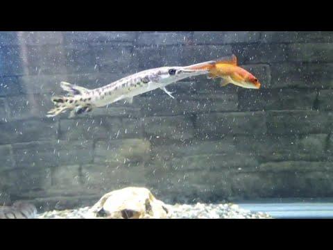 Alligator Gar Eating A Large Feeder Goldfish