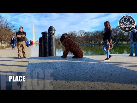 COCKAPOO TUFFY | amazing obedience | 5 month old | distraction training | Nova dog trainers