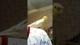 Птица говорун.Корелла говорит и поет😍😘😍(3,5месяцев)