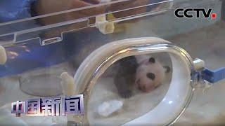 [中国新闻] 四川成都:2020年首对大熊猫双胞胎17日满月 | CCTV中文国际