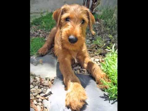 Irish Terrier For Sale Georgia Dog Irish Terrier Pupp...