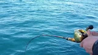 바다의신 카멜레온  다운샷로드로(스핑크스)참돔을