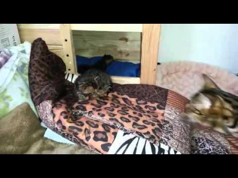 Sepia Bengal Katze Arkiealderton Bounty Im Laufrad Doovi
