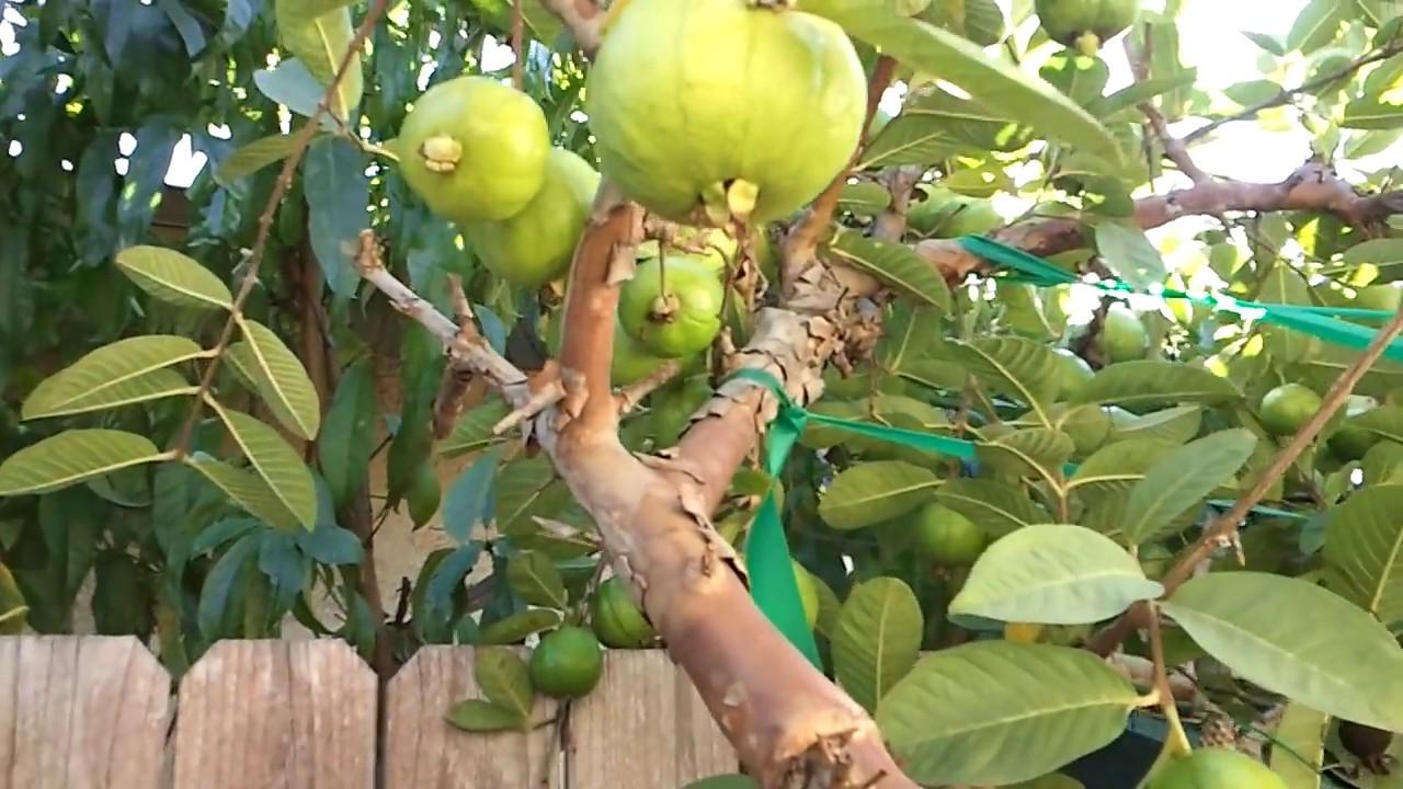 Guava tree youtube