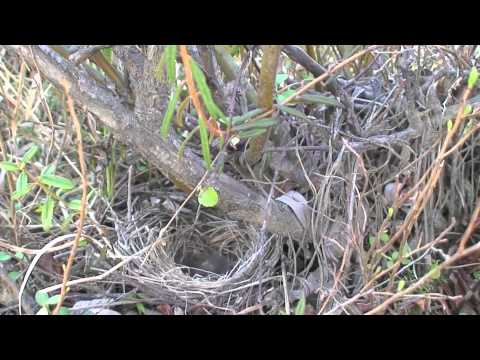 White Crowned Sparrow Nest