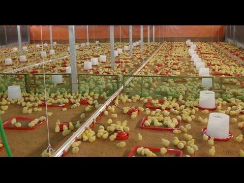 मुर्गी को दवा देने का सही तरीका ताकि ज्यादा असर हो ! Poultry India-TV