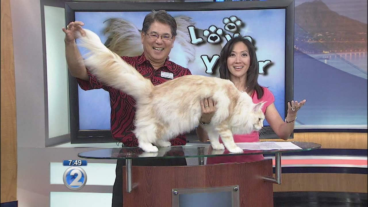 Love Your Pet Maine Coon Cats Youtube