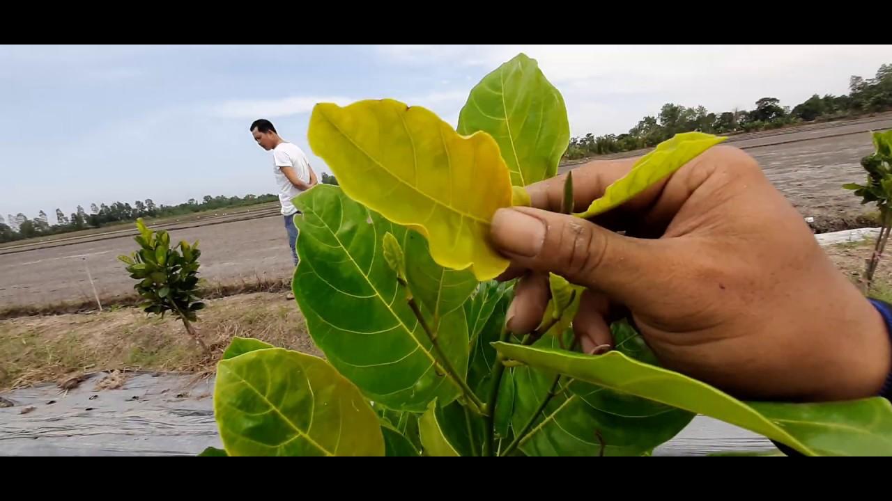 Hướng dẫn chăm sóc cây mít thái không vàng đọt và cây phát triển nhanh