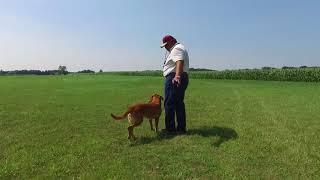 Old Oak Retrievers  'The T Drill' training video