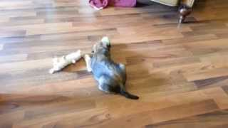 Wallace The Borderterrier Puppy - 2kg Of Pure Borderterrorism