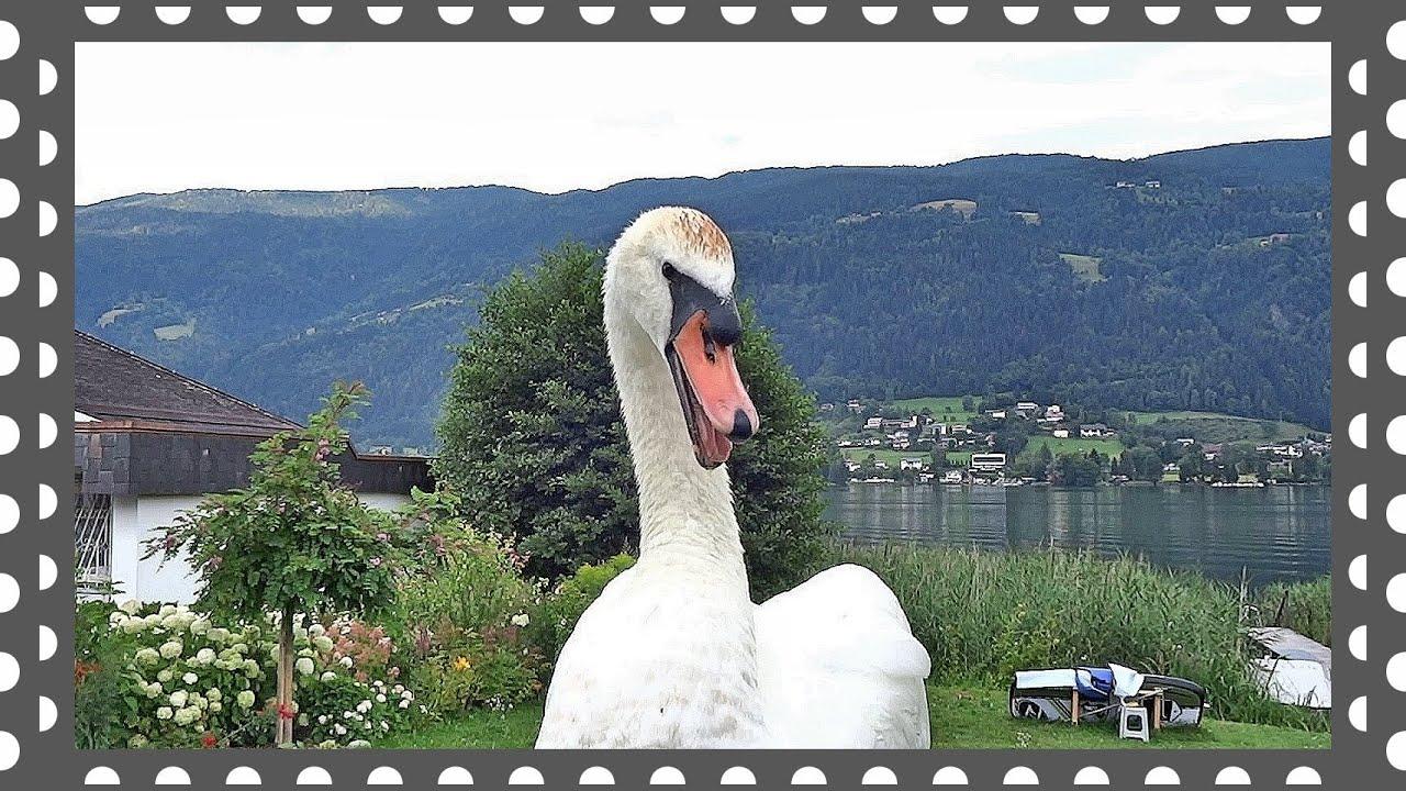 Белые Лебеди пришли с вопросом - YouTube
