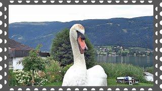 Белые Лебеди пришли с вопросом