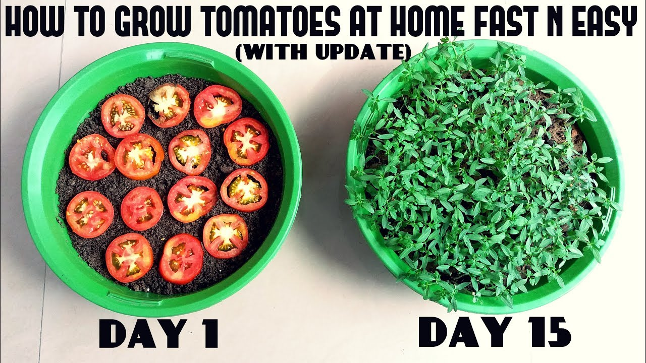 grow tomatoes from tomatoes easiest method ever with updates youtube. Black Bedroom Furniture Sets. Home Design Ideas