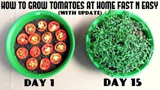 Grow Tomatoes from Tomatoes (Easiest Method Ever With Updates)