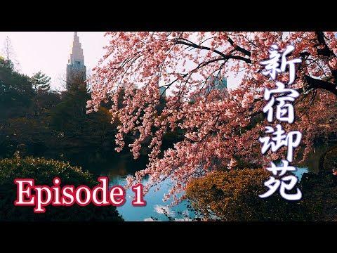 【Cherry blossoms】TOKYO. Shinjuku Gyoen, Episode 1.  2019 Early-bloomer #4K #新宿御苑 #カンザクラ