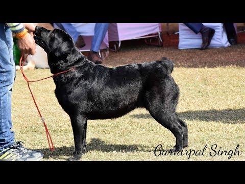 Labrador Dog competition at Delhi Dog Show