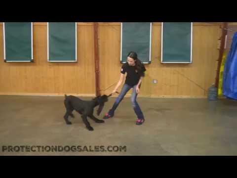 "Giant Schnauzer Female ""Kaya"" 13 Mo Obedience Play Training Dog For Sale"