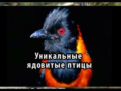 Вопрос: Где живет и как называется единственная ядовитая птица на Земле?