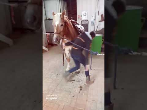 IWPHA  WESTERN HAFLINGER HORSE
