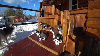 2020-03-02   Puppies 6 & 3 weeks old